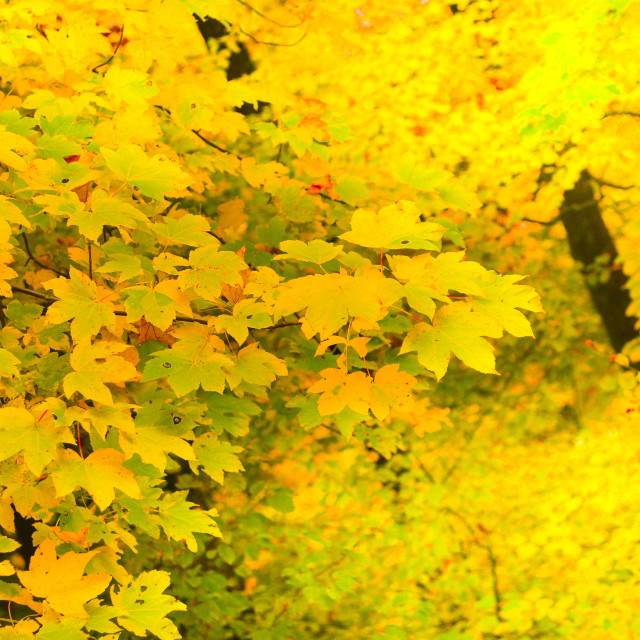 """""""Maple leaf in autumn, Alsace , background"""" stock image"""