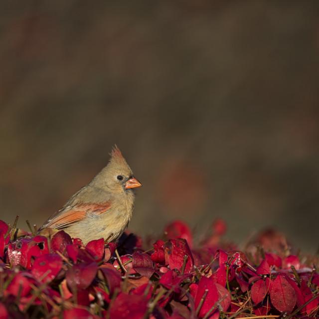 """Northern Cardinal on Red Bush"" stock image"