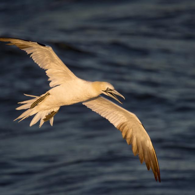 """""""Flying Gannet in Morning Sun"""" stock image"""