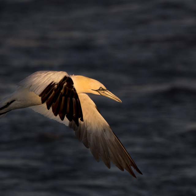 """Northern Gannet in Sunny Spotlight"" stock image"