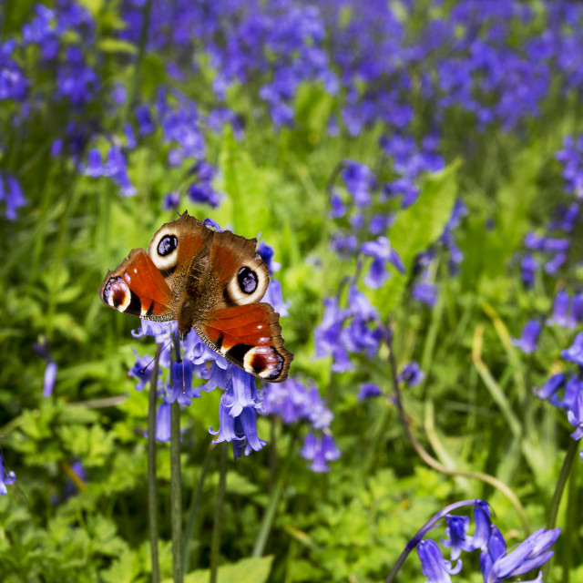 """Peacock Butterfly in a Bluebell Wood"" stock image"