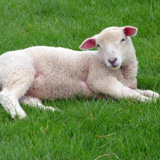 """Resting Lamb"" stock image"
