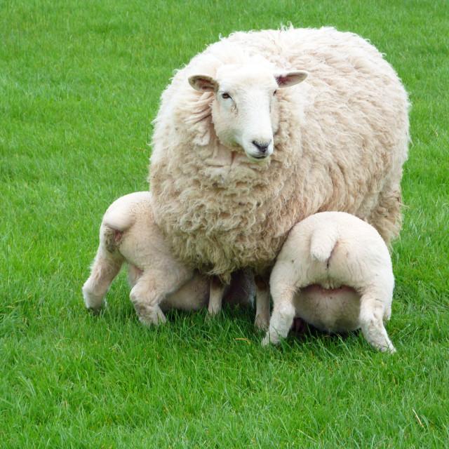 """Suckling Lamb"" stock image"