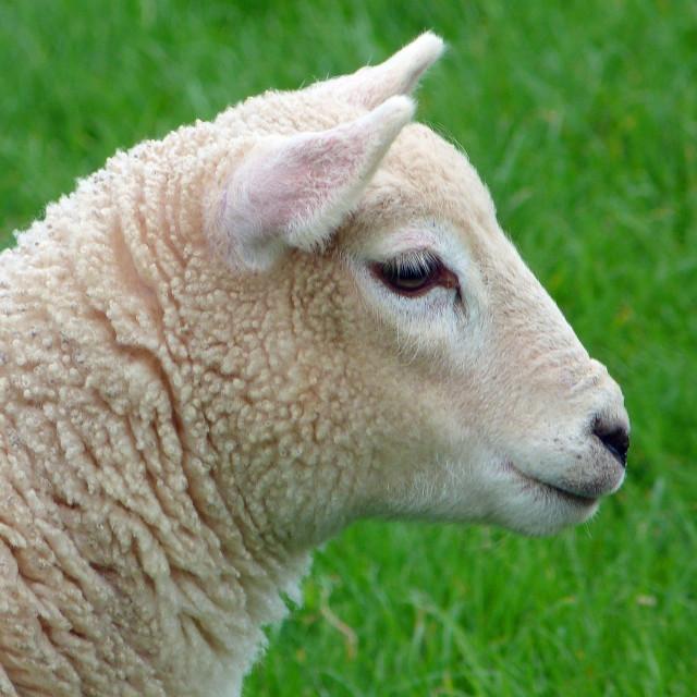 """Lamb Smile"" stock image"