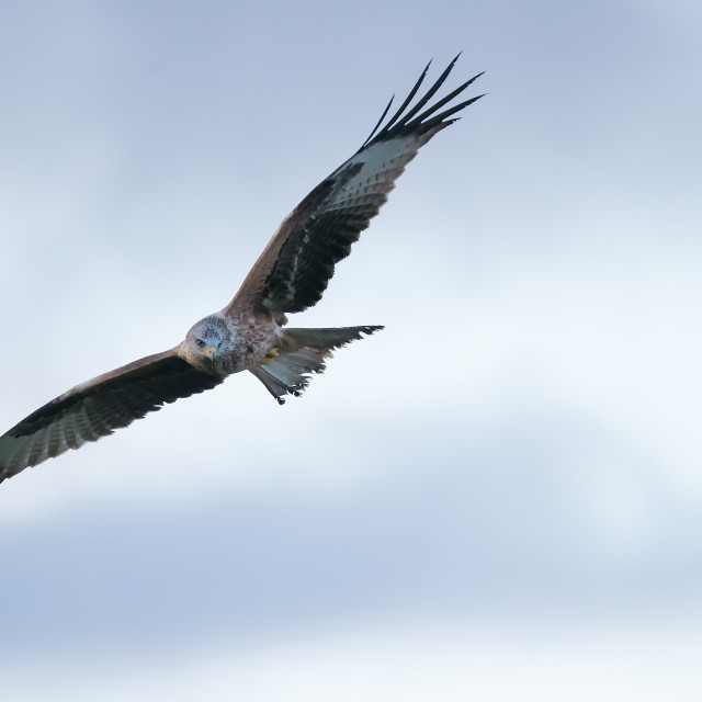 """Red Kite in Flight"" stock image"