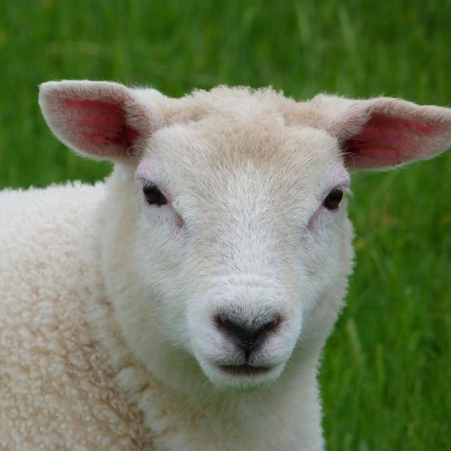 """""""Super Cute Lamb"""" stock image"""