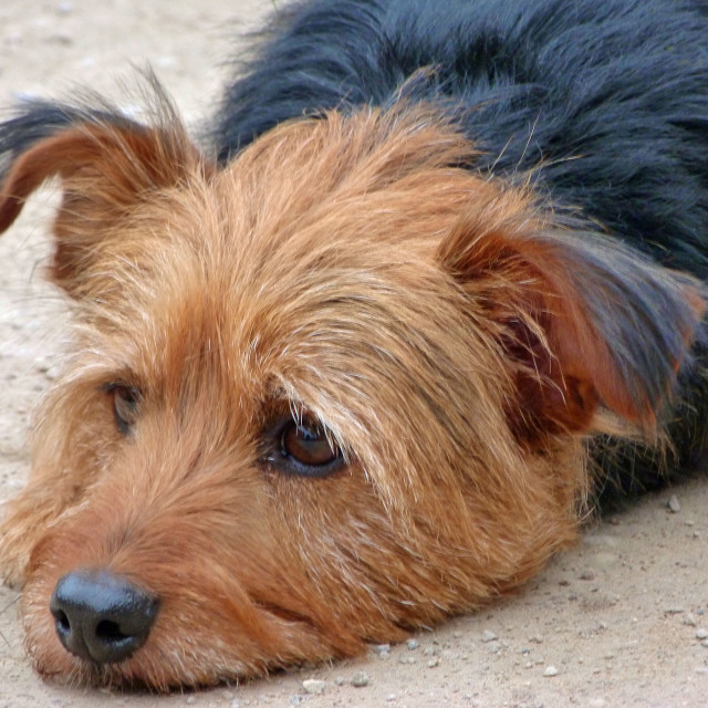 """Tired Terrier"" stock image"