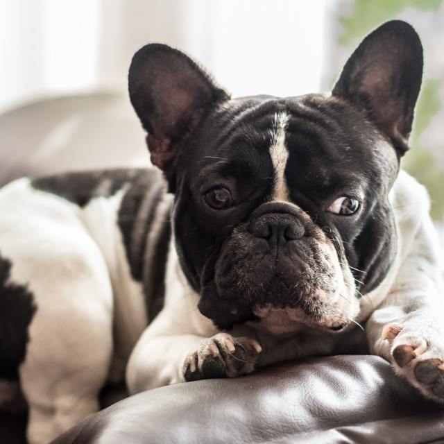 """French bulldog looking thoughtfully"" stock image"