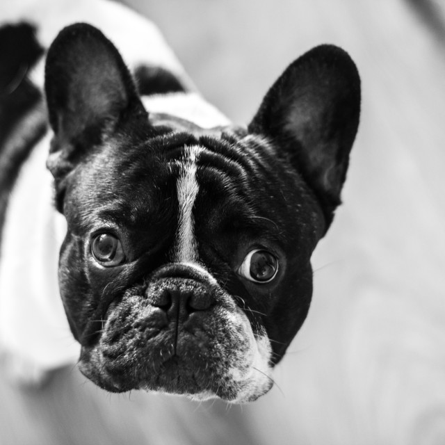 """French bulldog in black and white"" stock image"