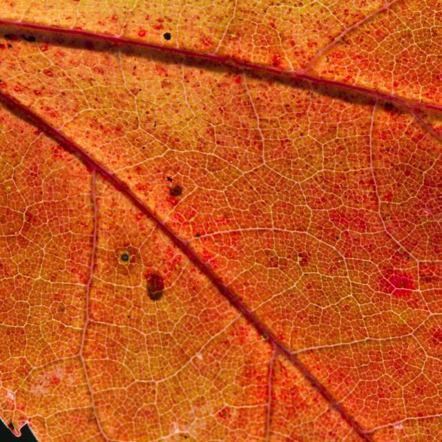 """Fall Leaf Close Up 2"" stock image"