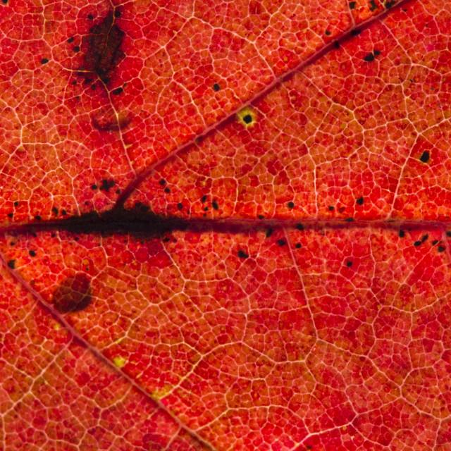 """Fall Leaf Close Up 3"" stock image"