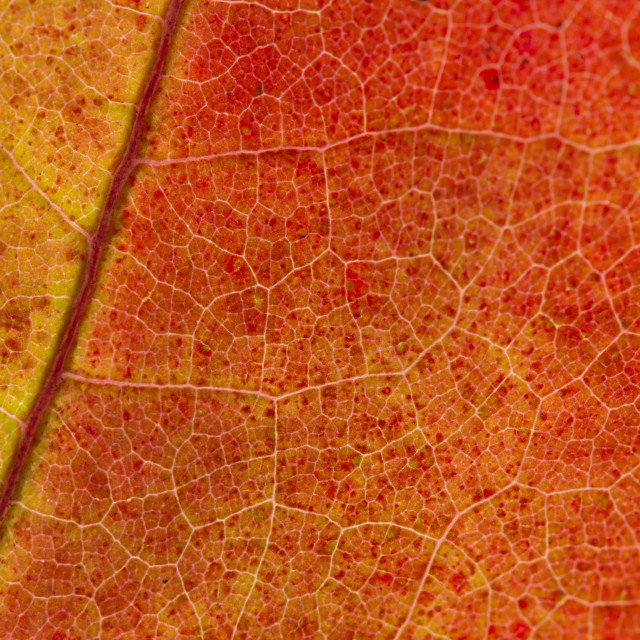 """Fall Leaf Close Up 4"" stock image"
