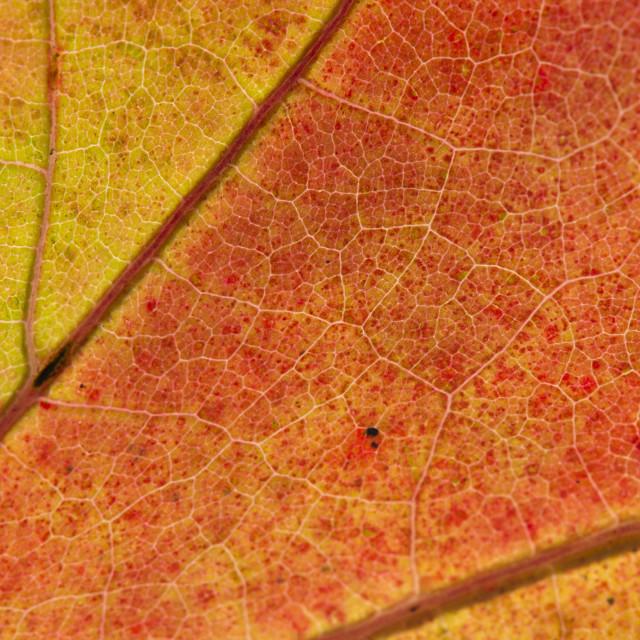"""Fall Leaf Close Up 5"" stock image"