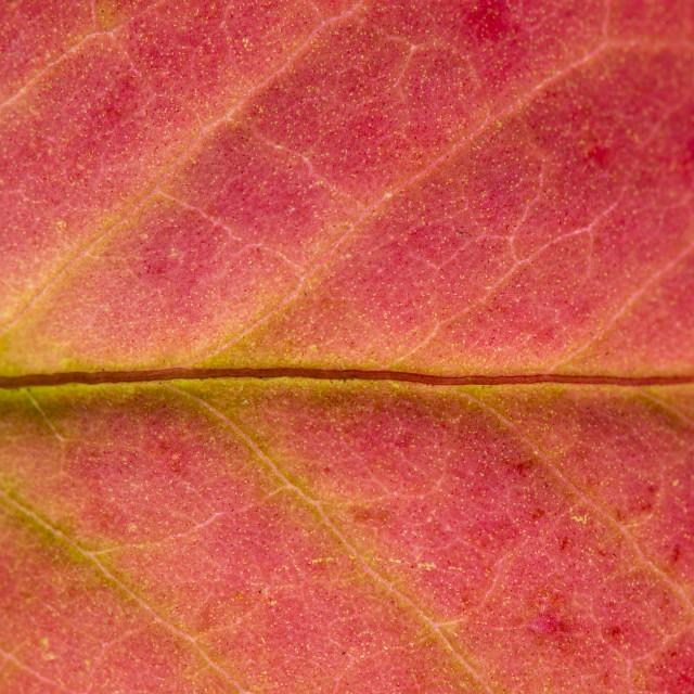 """Fall Leaf Close Up 9"" stock image"