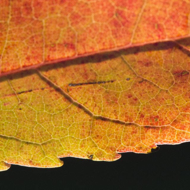 """Fall Leaf Close Up 7"" stock image"