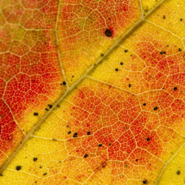 """Fall Leaf Close Up 1"" stock image"