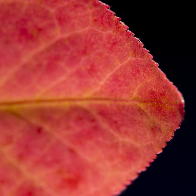 """Fall Leaf Close Up 10"" stock image"