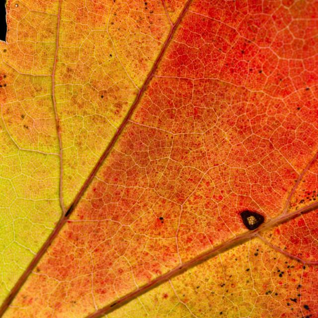"""Fall Leaf Close Up 6"" stock image"