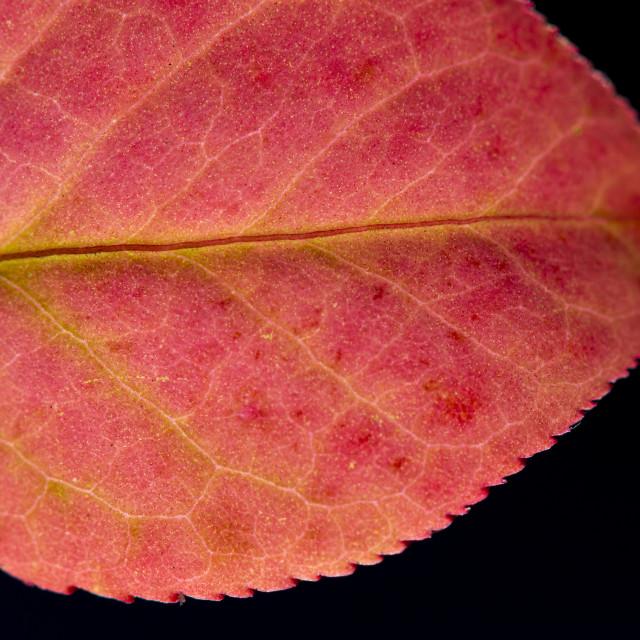 """Fall Leaf Close Up 11"" stock image"