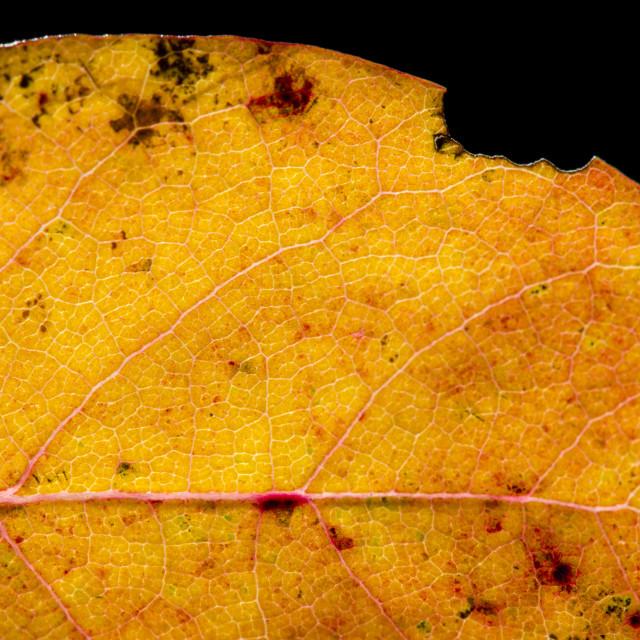 """Fall Leaf Close Up 13"" stock image"