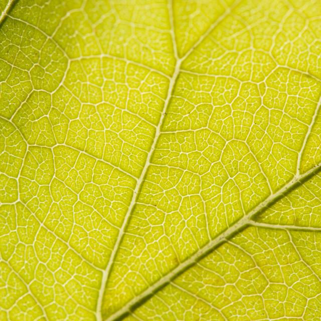 """Fall Leaf Close Up 15"" stock image"