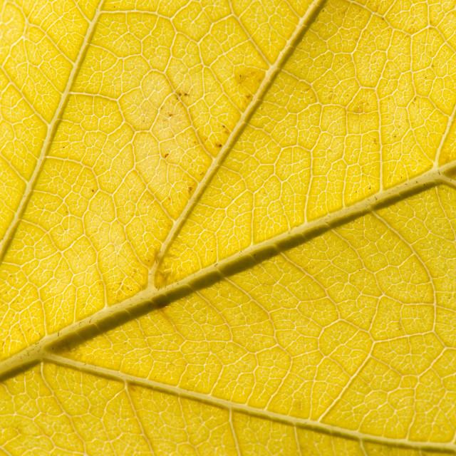 """Fall Leaf Close Up 17"" stock image"