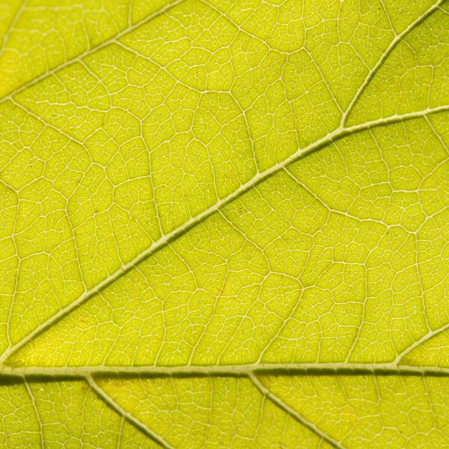 """Fall Leaf Close Up 16"" stock image"