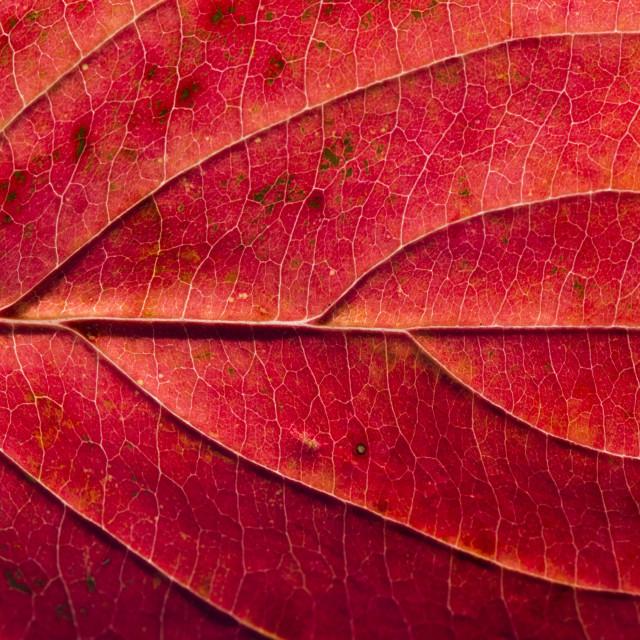 """Fall Leaf Close Up 23"" stock image"