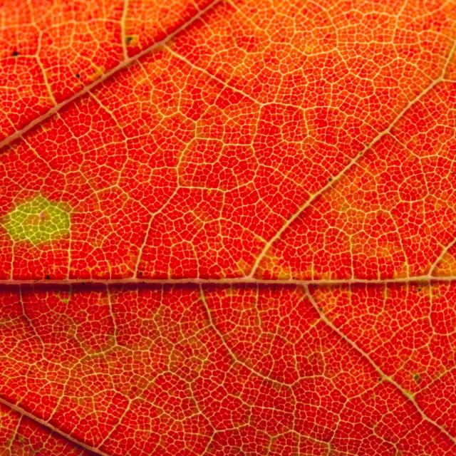 """Fall Leaf Close Up 22"" stock image"