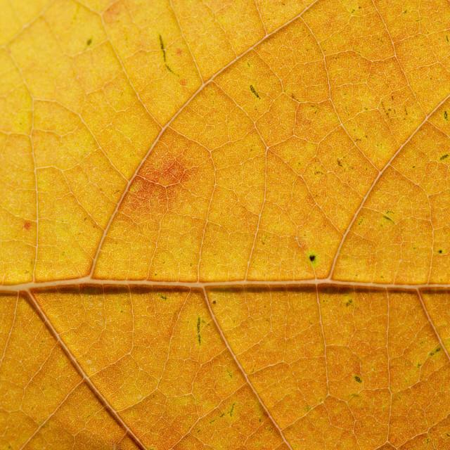 """Fall Leaf Close Up 25"" stock image"