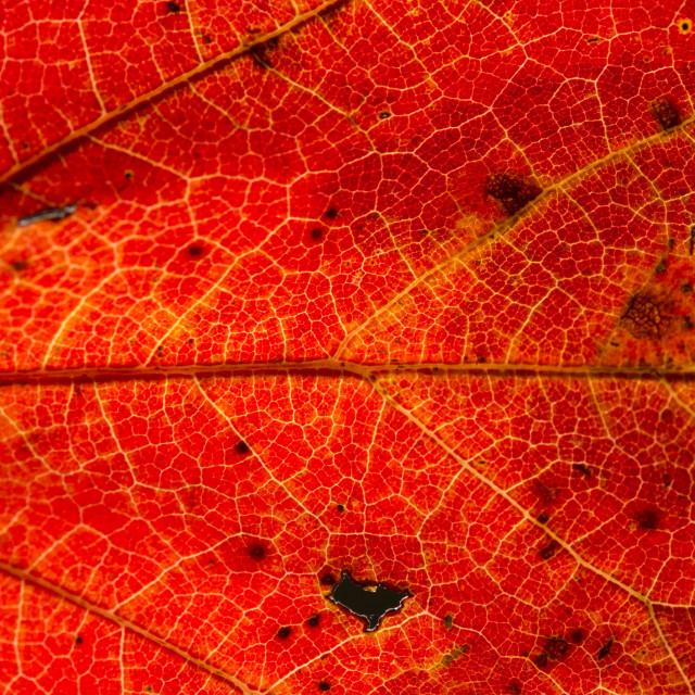 """Fall Leaf Close Up 26"" stock image"