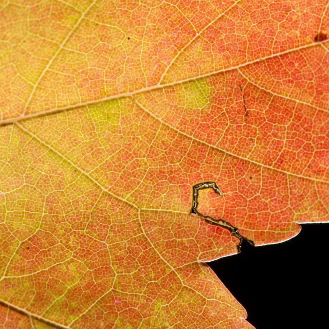 """Fall Leaf Close Up 28"" stock image"
