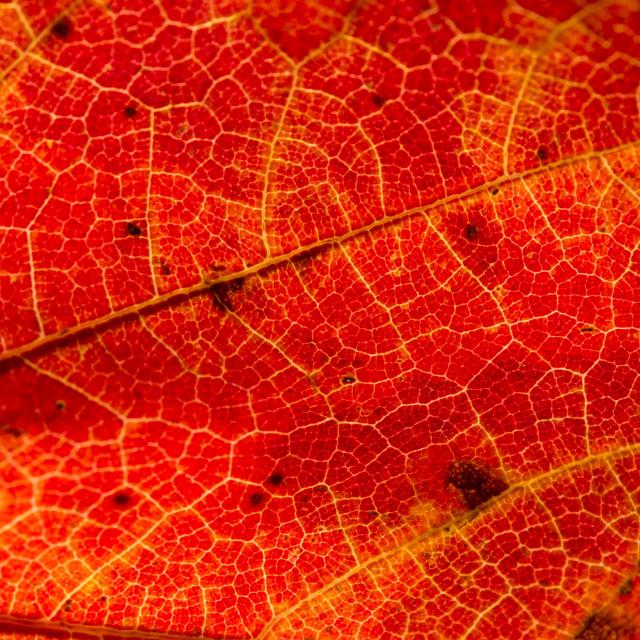 """Fall Leaf Close Up 27"" stock image"