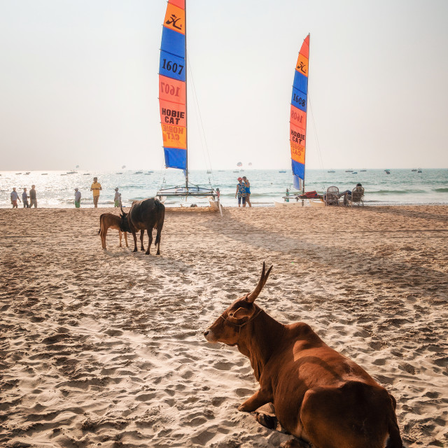 """Indian cows against sailboards on the beach in Goa, India"" stock image"