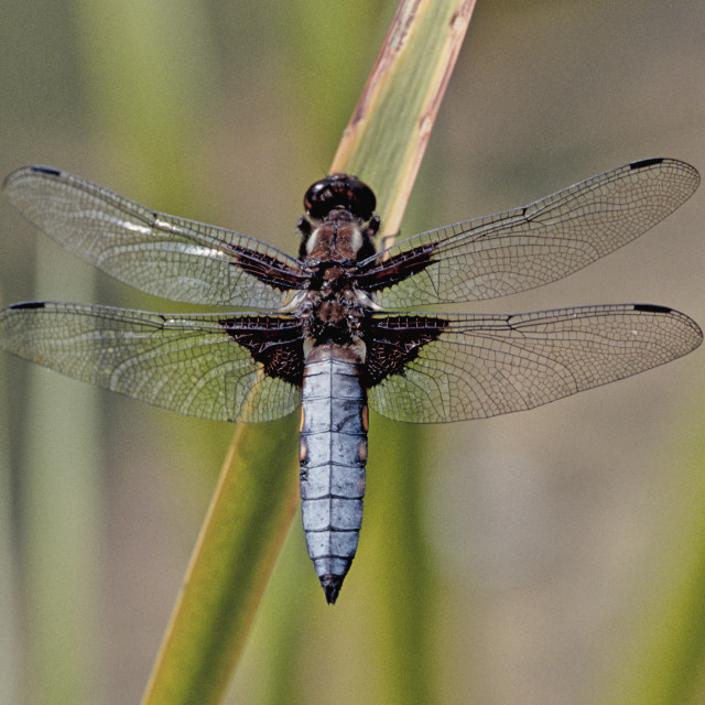 """""""Broad - bodied Chaser"""" stock image"""