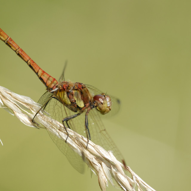 """""""Common Darter dragonfly"""" stock image"""