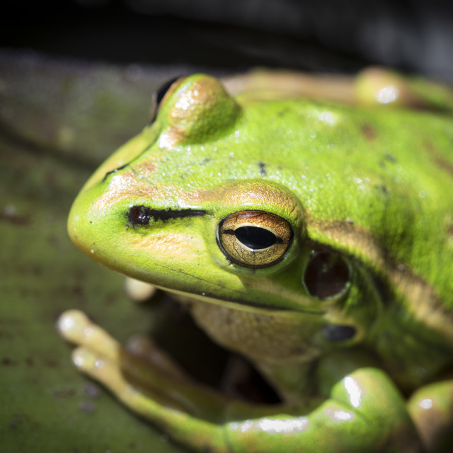 """Golden Bell Frog"" stock image"