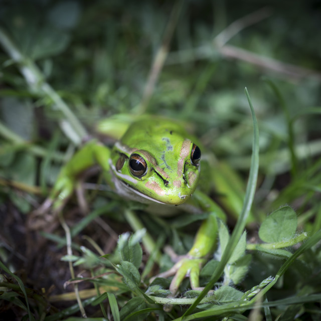 """Golden Bell Frog II"" stock image"