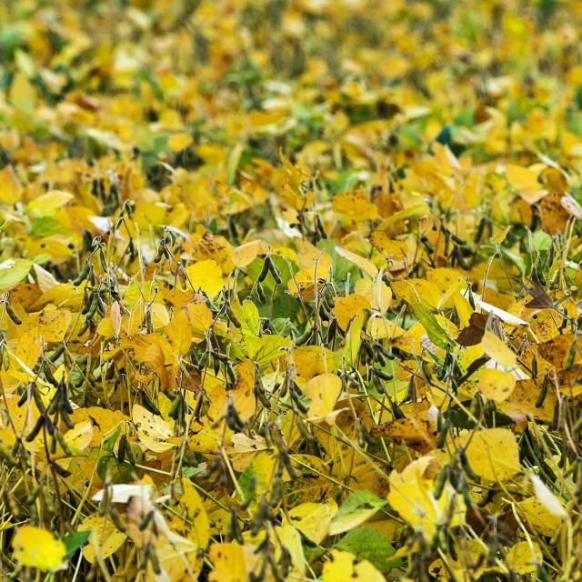 """Crop of soybean plants, Lancaster, Pennsylvania, USA"" stock image"