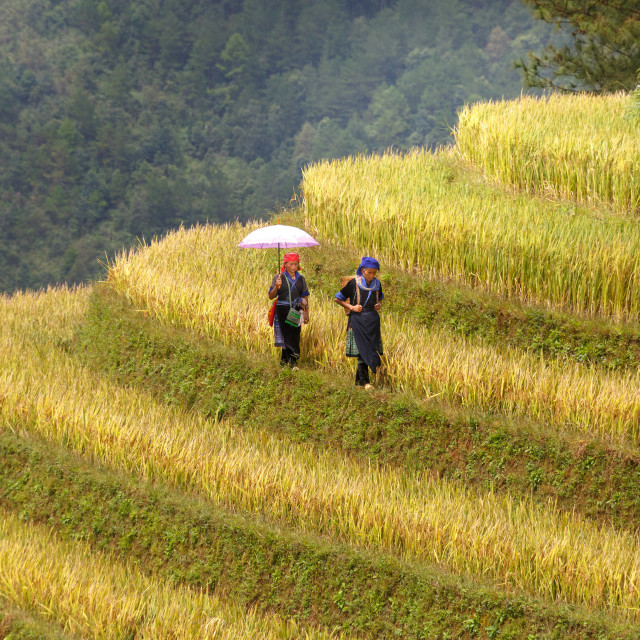"""H'mong women farmer go home on terrace rice fields"" stock image"