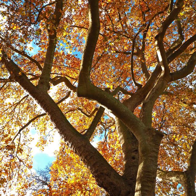 """Autumn Canopy"" stock image"