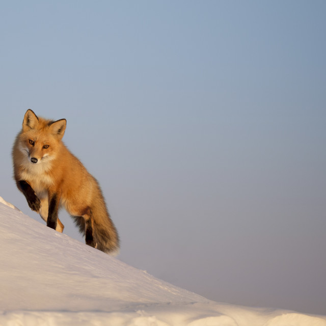 """""""A Fox in the Snow"""" stock image"""