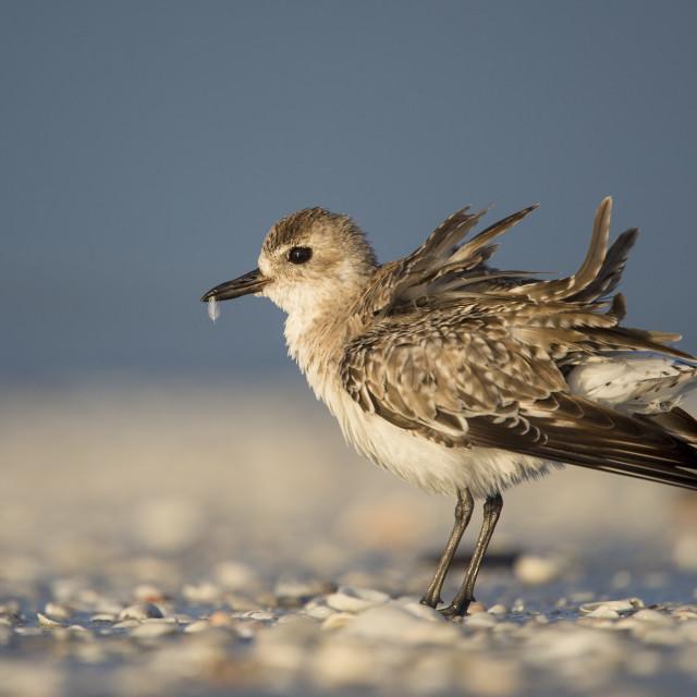 """A Morning Bird Shake"" stock image"