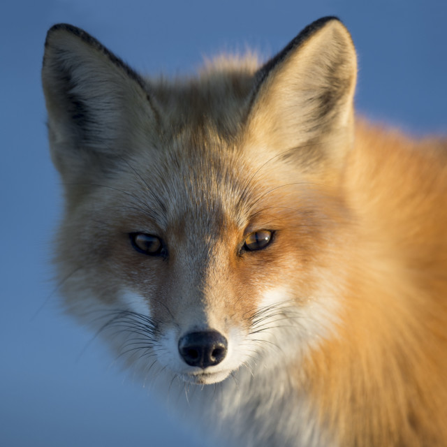 """""""A Red Fox Portrait"""" stock image"""
