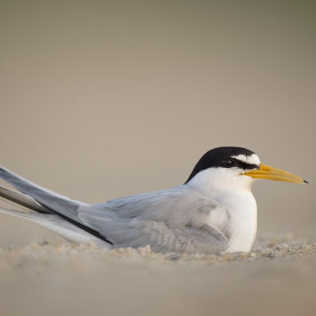 """""""Adult Least Tern on Beach"""" stock image"""