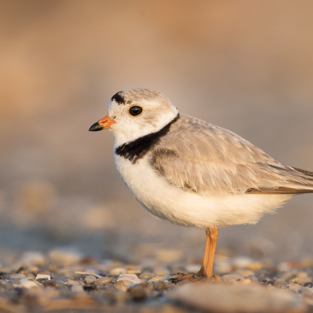 """""""Adult Piping Plover Portrait"""" stock image"""