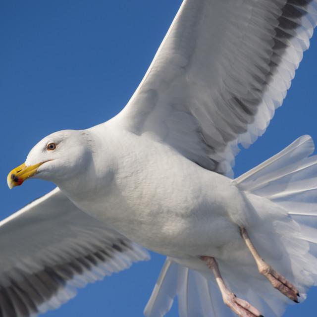 """Aerial Gull"" stock image"