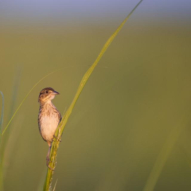 """Alert Sparrow"" stock image"