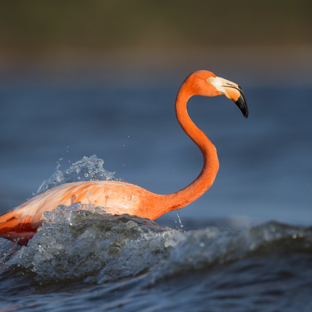 """""""American Flamingo and Waves"""" stock image"""