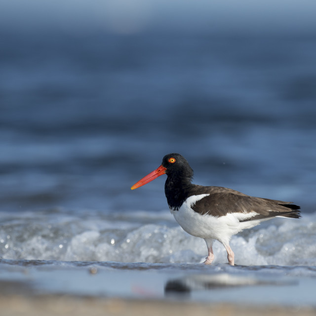 """""""American Oystercatcher in the Ocean"""" stock image"""